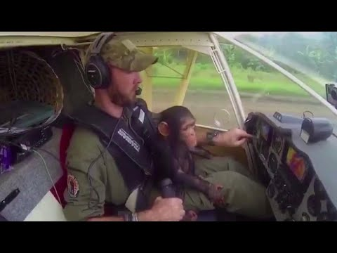 Rescued chimp helps co-pilot plane