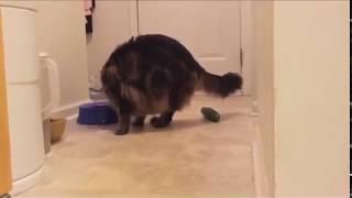 ТОП ПОДБОРКА САМЫХ 100% оригинальных смешных кошек с огурцами!!! ))) Funny cats