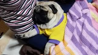 パグ犬ムゥが娘の膝の上で寝ています。なんだか腕が伸びています。腕を...