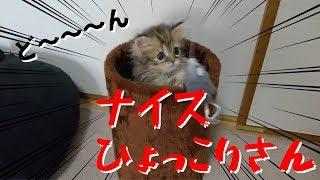 【ミヌエット】小豆ちゃんヒョッコリ! thumbnail