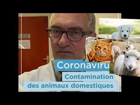 Animaux domestiques et coronavirus: quels sont les risques ? Professeur Lucet #PuMs