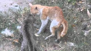 Deadly fight between cats Video