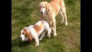 A Skinny Puppy Play Date - Nature's Revenge - Basset Hound Vs Golden Retriever Puppy Play