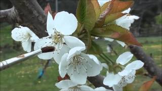 Cherry Pollination