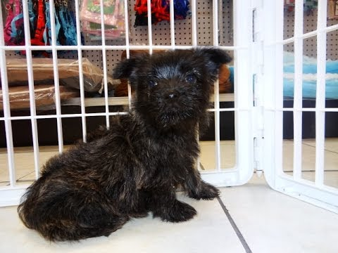 Cairn Terrier, Puppies, Dogs, For Sale, In Denver, Colorado, CO, 19Breeders, Fort Collins, Arvada