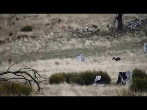 Leupold CDS Dial System - VX6 - Fallow Doe Culling - Tasmania, Australia - August 2014