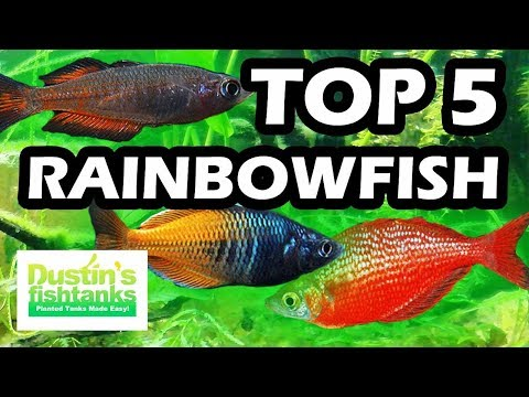 TOP 5 FAVORITE RAINBOWFISH FRESH WATER AQUARIUM FISH