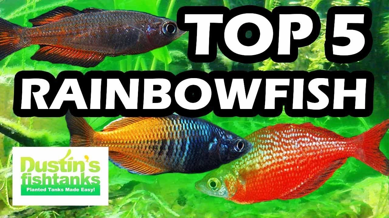Top 5 Favorite Rainbowfish Fresh Water Aquarium Fish Youtube