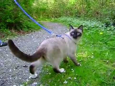 Cute siamese cat walking on a Leash