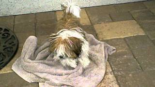 Shih Tzu Puppy Drying Off After A Bath