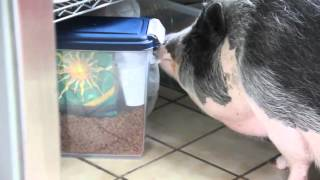 Pua the Pot Belly Pig Having Kitty Food...Well, Almost!