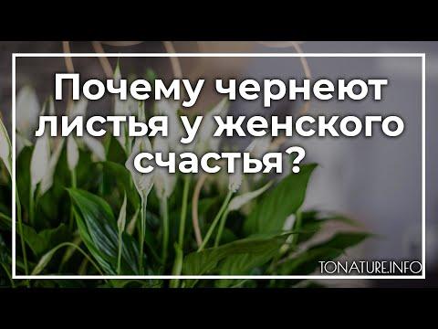 Почему чернеют листья у женского счастья? | toNature.Info