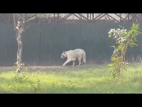 4K This Tiger killed  a student who fell into New Delhi zoo National Zoological Park Delhi
