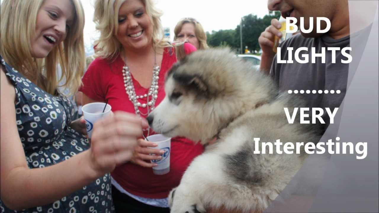 Alaskan Malamute Puppy 12 weeks FROST - HD - YouTube