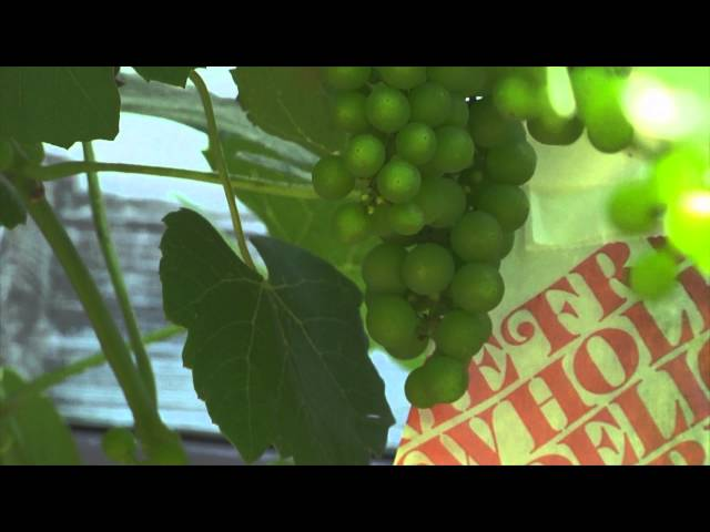 Bagging grapes: why? how?