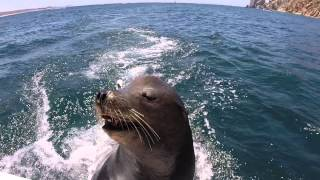 Pancho the Infamous Sea Lion in Cabo San Lucas, Mexico (Funny)