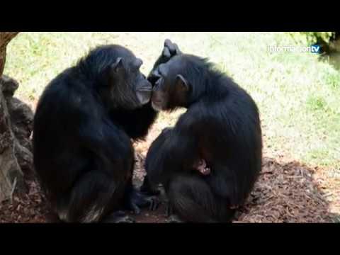"""información-tv:-""""coco,-el-chimpancé-recién-nacido-en-bioparc-valencia"""""""
