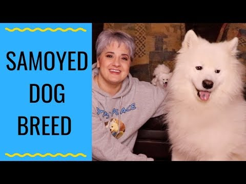 Samoyed Dog Breed Info