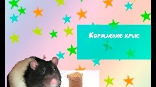 Кормление  крыс ( мелких грызунов)
