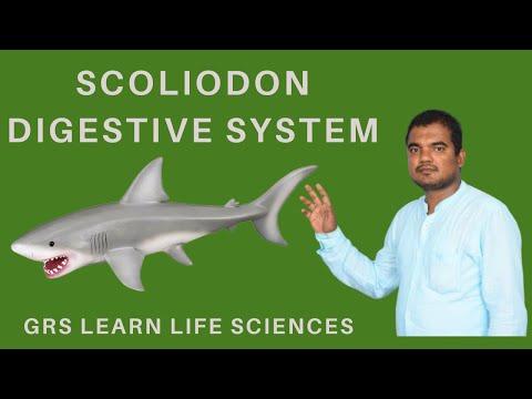 Fish Digestive System| Scoliodon Digestive System