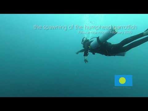 The Spawning Of The Humphead Parrotfish - Palau 2020