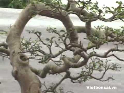 Lễ hội cây cảnh nghệ thuật Yên Tử . Vietbonsai.vn  -  p3