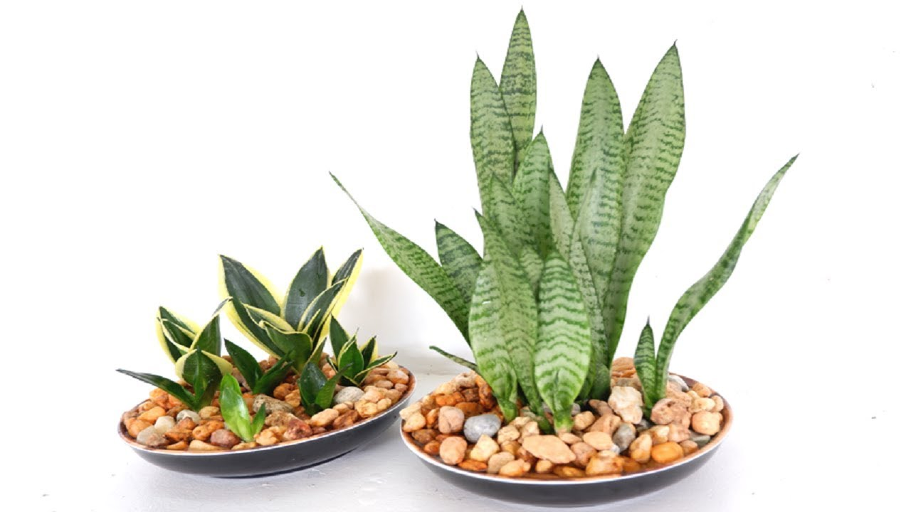 How to Make Snake Plant (Sansevieria) Home Decor for Living Room or Kitchen  Center Table - YouTube