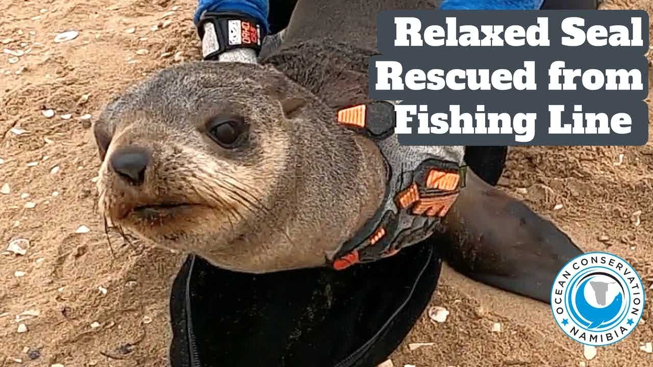 Relaxed Seal Rescued from Snoek Fishing Line