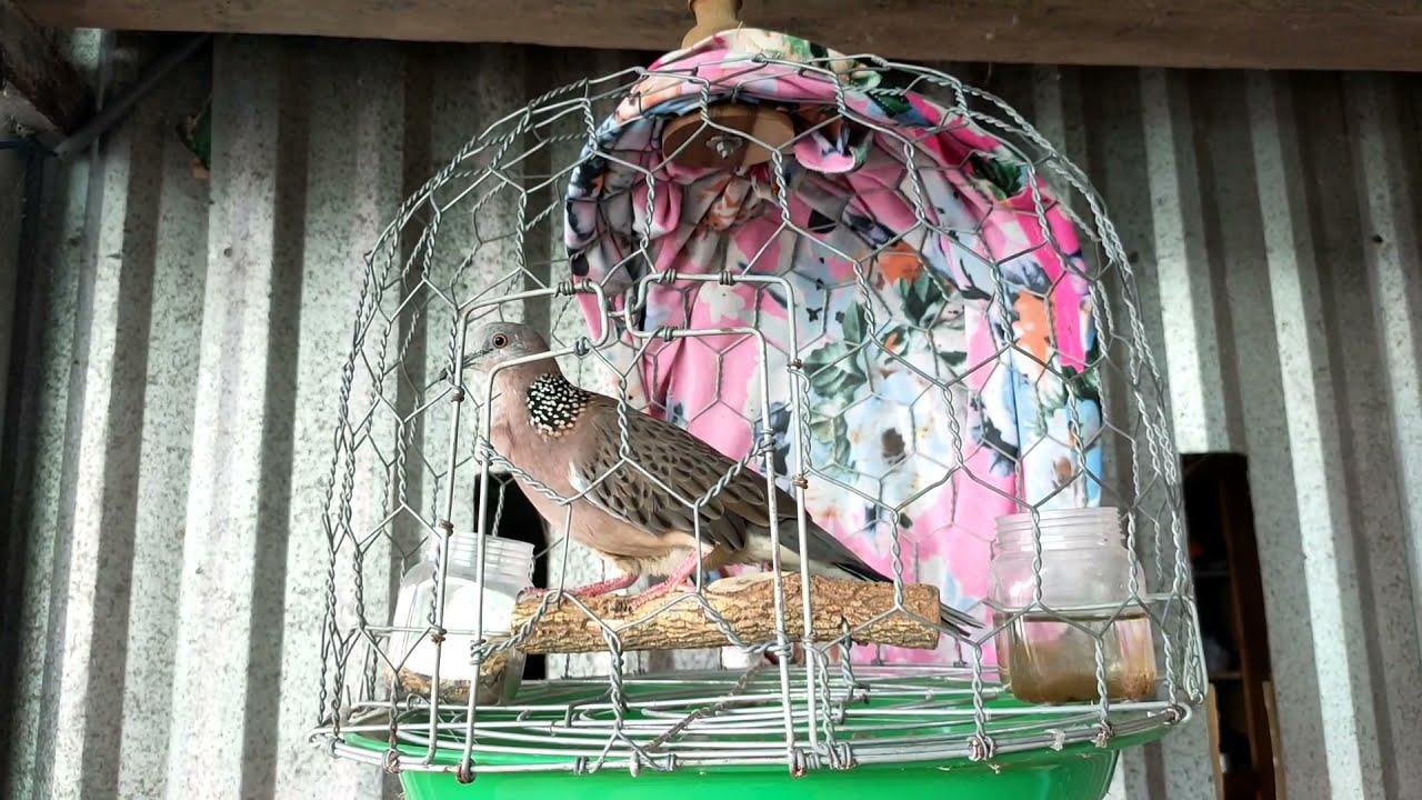 Nhiều bạn hỏi mình xổ giun cho chim cu gáy Và đây là cách rẻ tiền, đơn giản, hiệu quả...