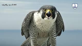 أنواع الصقور ومواطنها الأصليه/وثائقي رائع عن الصقور وأنواعها/Types of hawks
