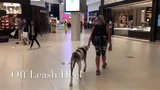 "7 Mo Old Great Dane ""Blue "" 