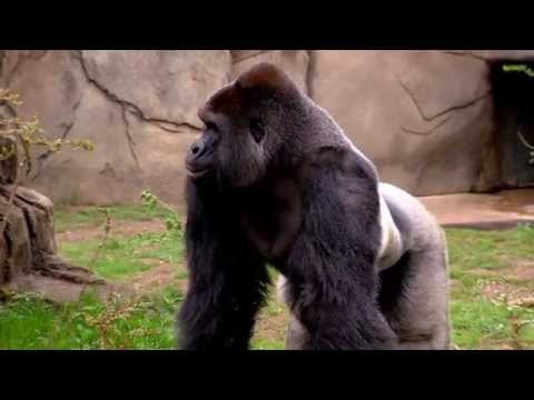 New Silverback Gorilla Harambe 1st Time Out - Cincinnati Zoo