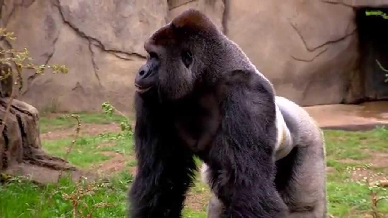 new silverback gorilla harambe 1st time out cincinnati zoo youtube