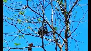 Chim cu gáy mồi đỉnh cao là đây | Bẫy con nào chết con đó| Cu gáy bổi chuẩn, mồi cây