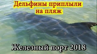 Дельфины приплыли на пляж. Железный порт 2018 \ The dolphins sailed to the beach. Iron Port 2018