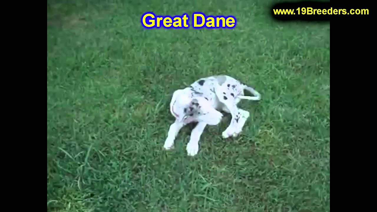 Great Dane Puppies Dogs For Sale In Denver Colorado Co