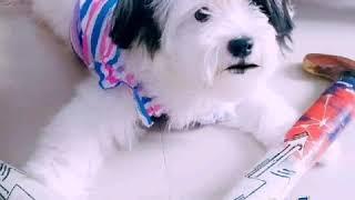 Funniest Shihtzu puppy 🐕Playing Hockey 🏒
