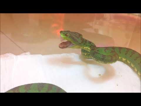 Flavo viper enjoy his dinner