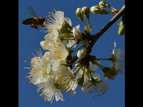 Fruit tree pollination | Jim Kamas | Central Texas Gardener