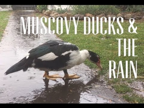 Muscovy Ducks Enjoy the Rain