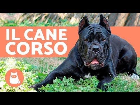Cane Corso italiano: