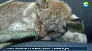 Жительница белорусской деревни спасла раненого рысенка   МИР24