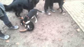 Rottweiler Beschützt Rottweiler Welpen (ameerah)