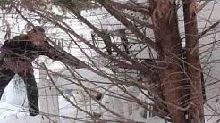 Rogue Raccoon Removal: Cortlandt Manor, NY: Intrepid Wildlife Services