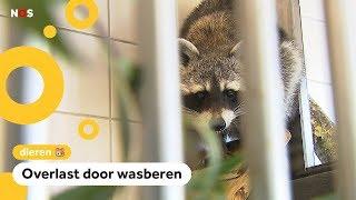 Limburg probeert wasberen te vangen met sardientjes