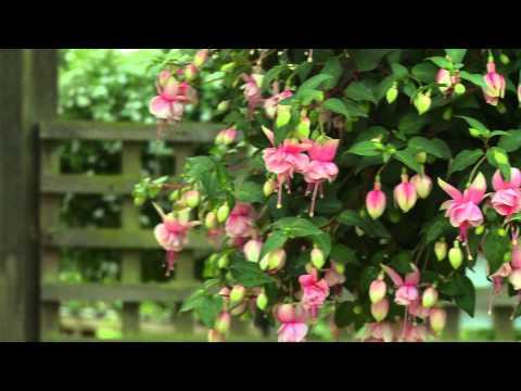 Fuchsia Buds of May Southgate