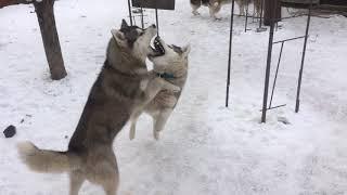 #huskiesterra, #husky, #хаски Доброе утро!/ Игры собак породы Сибирский Хаски
