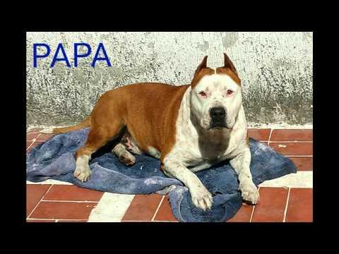 STAFFORDSHIRE TERRIER AMERICANO Cachorros en Venta