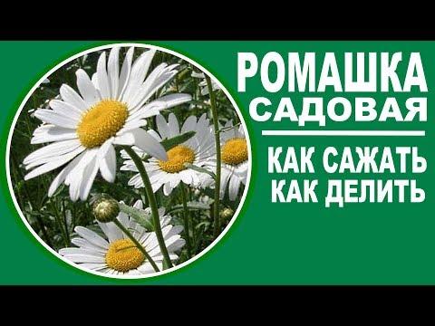 Ромашка садовая .  Как сажать ромашку садовую и как ее размножать