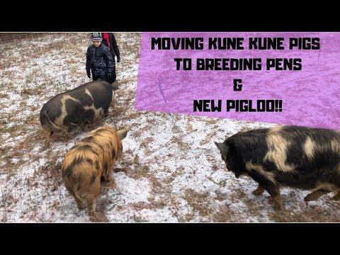 New Kune Kune Pig Housing
